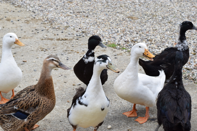 ducks waiting to be fed