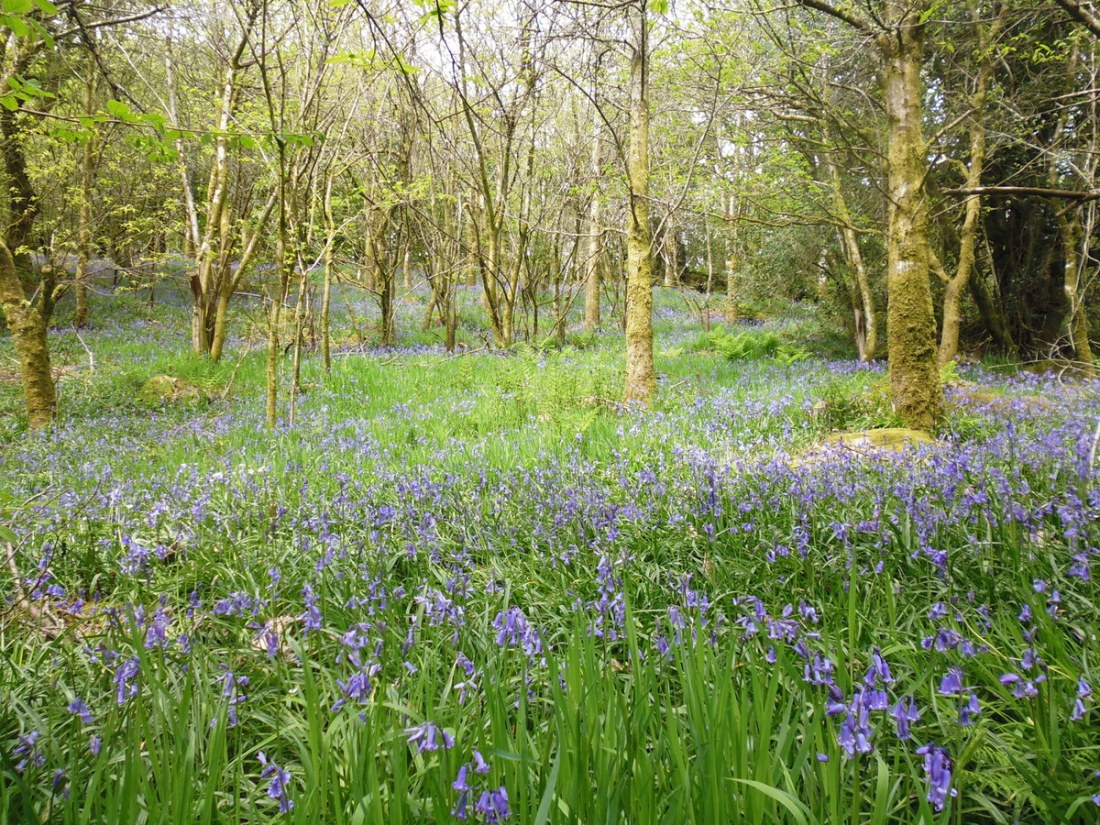 bluebells Devon Coast to Coast Path