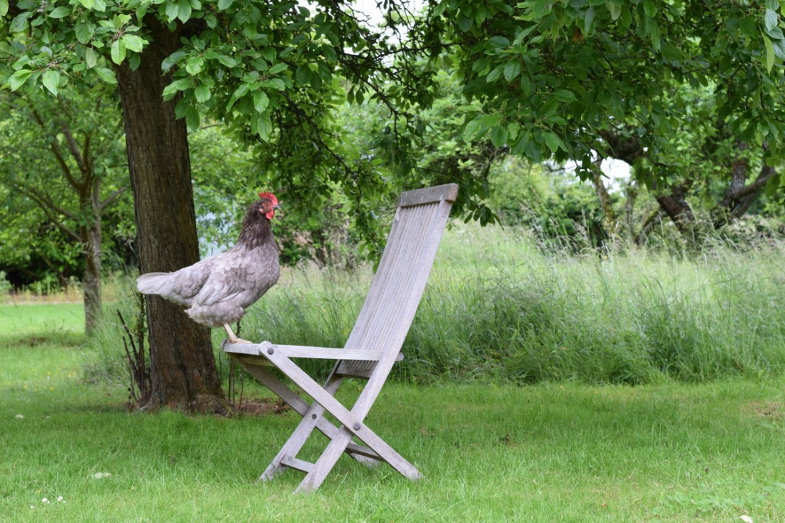 hen on chair