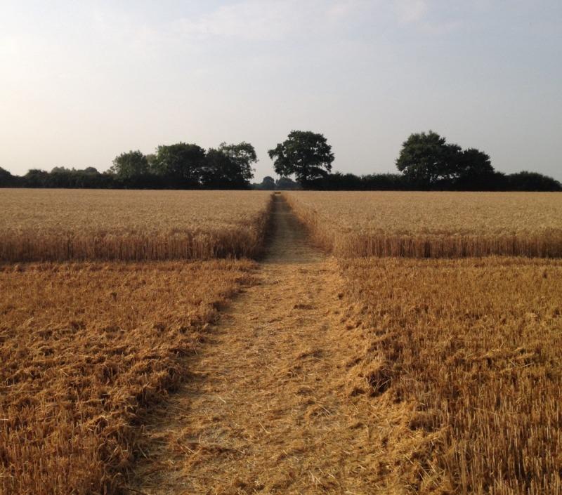 farm24 footpath through wheat