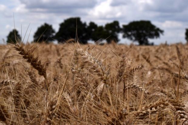 skyfall wheat