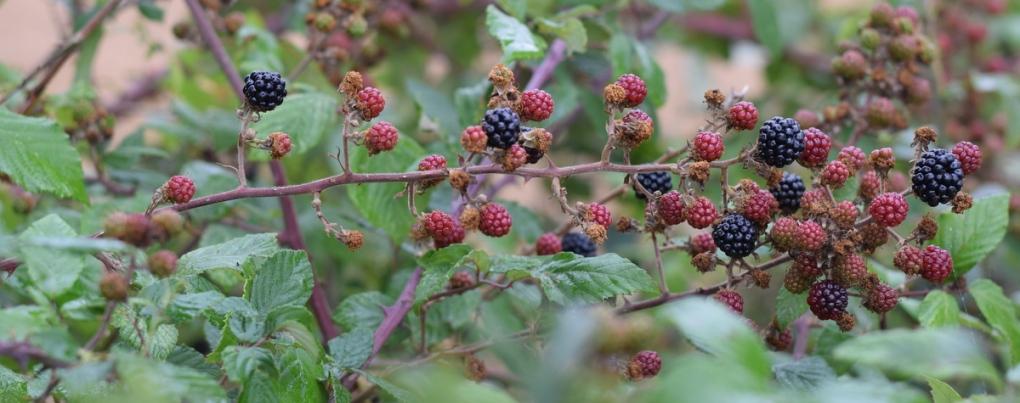 blackberries in hedge