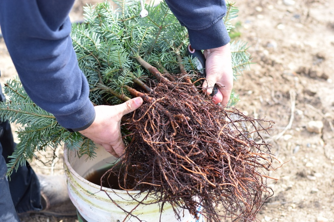 Christmas tree planting