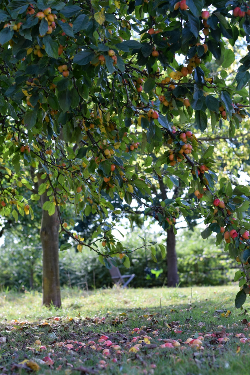 crab apples under the tree