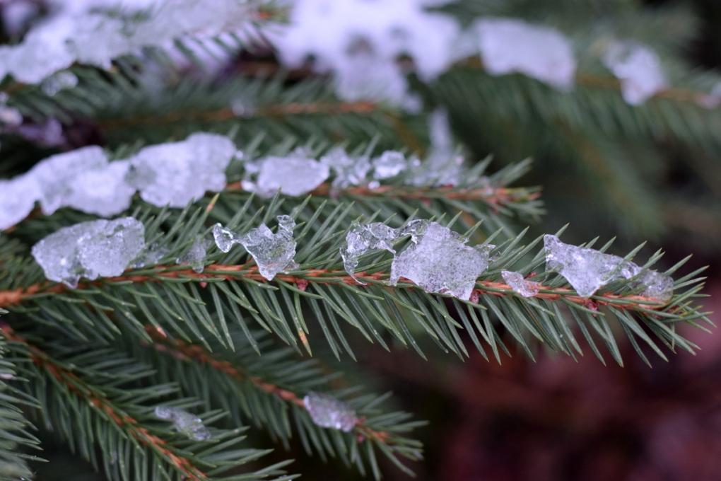 snow on Slamseys Christmas trees