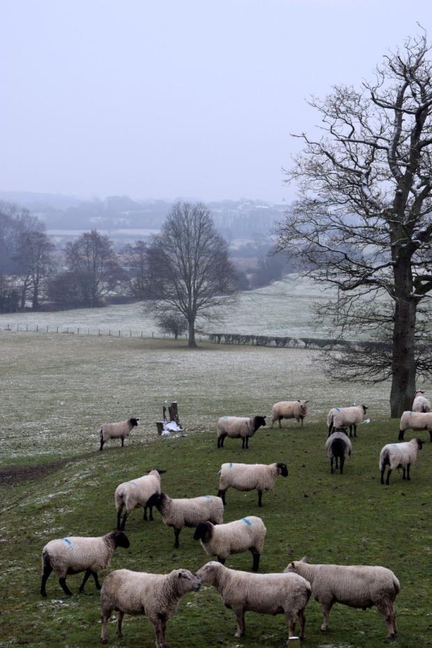 sheep grazing Sussex