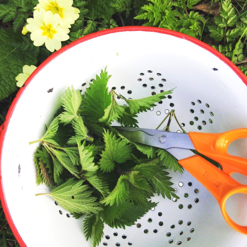 Nettles cut for the kitchen