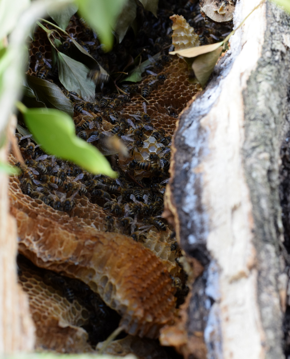 Bees and honeycomb in fallen branch