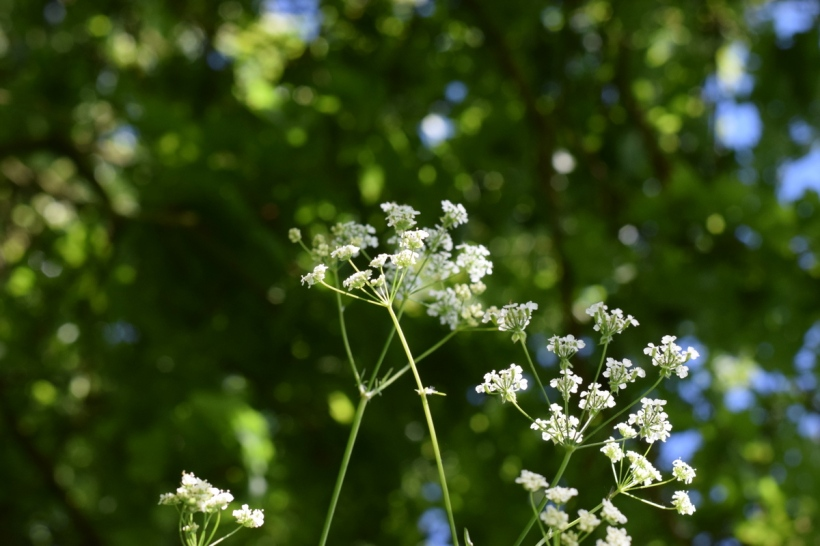 cow parsley under trees