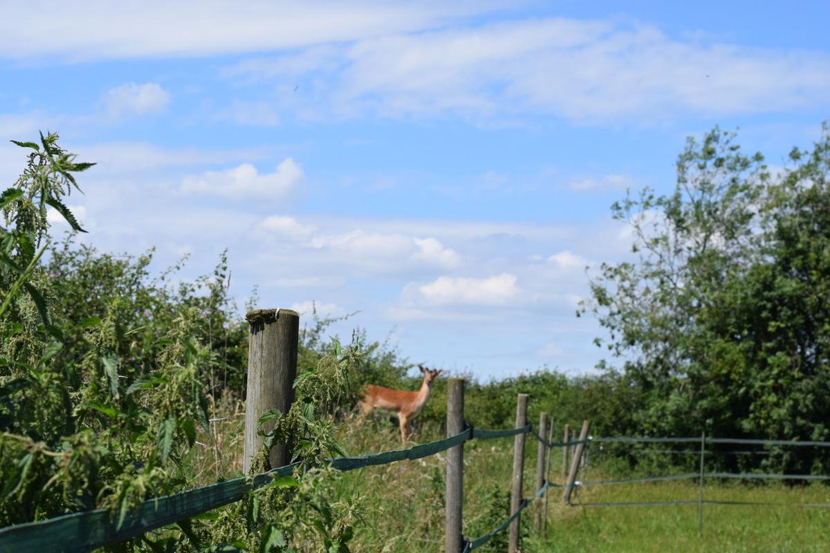 deer behind stinging nettles