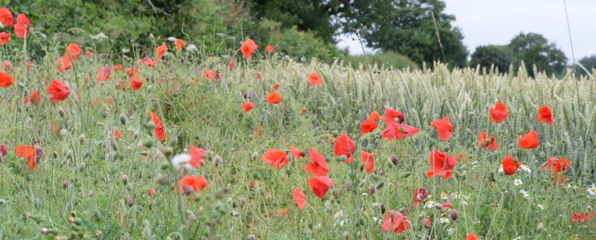 wildflowers in field corner