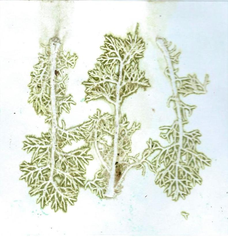 Mayweed leaves printed with no ink, just natural colour from the plant