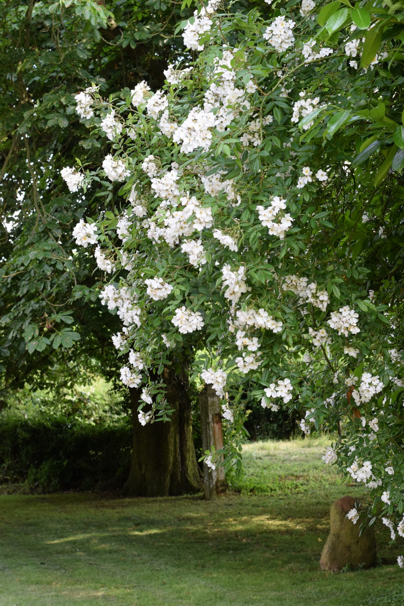 rose Pleine de Grace