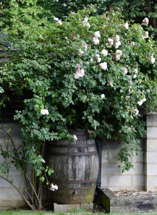 Rose The Generous Gardener