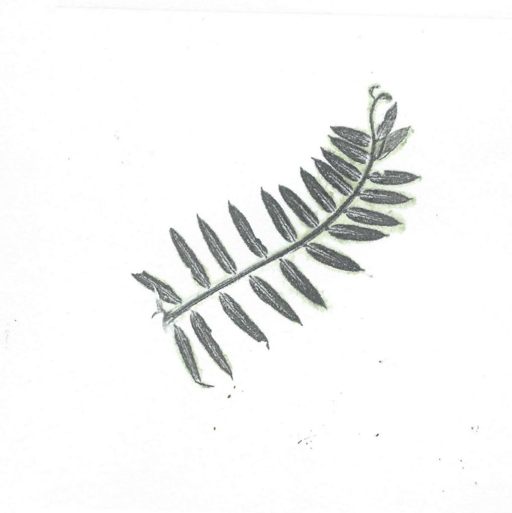 vetch leaf nature print