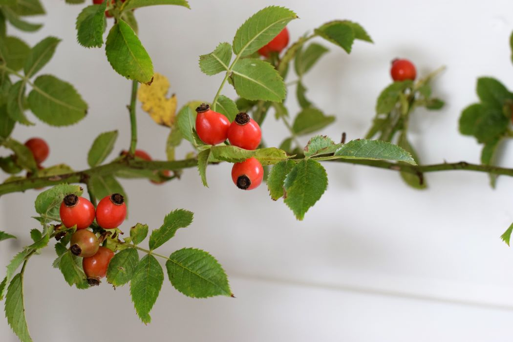 rosehiips in September