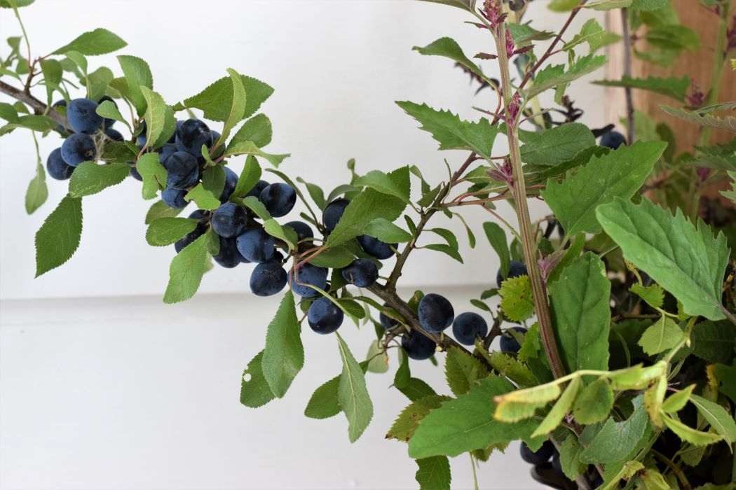 sloes in September