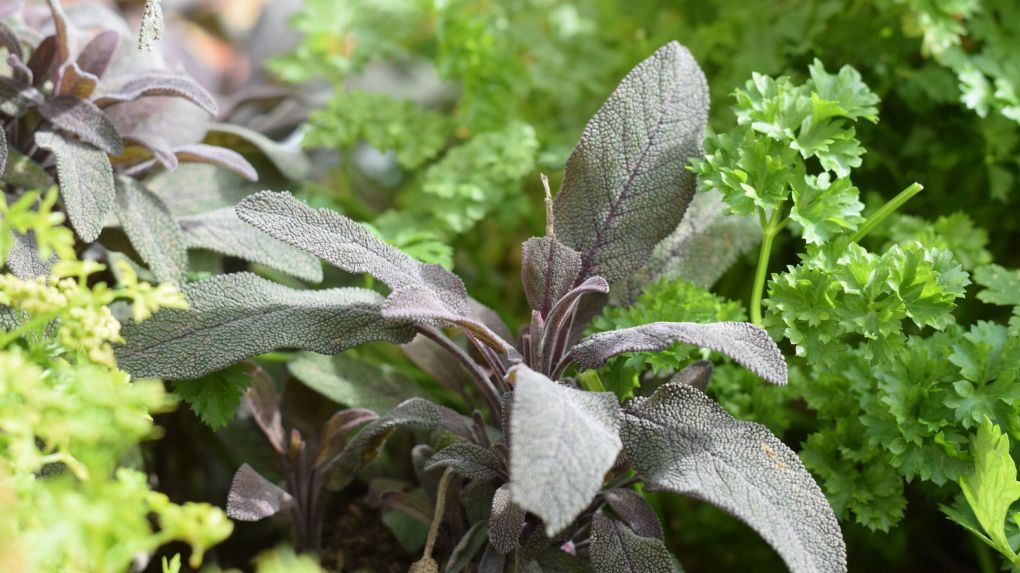 purple sage and parsley
