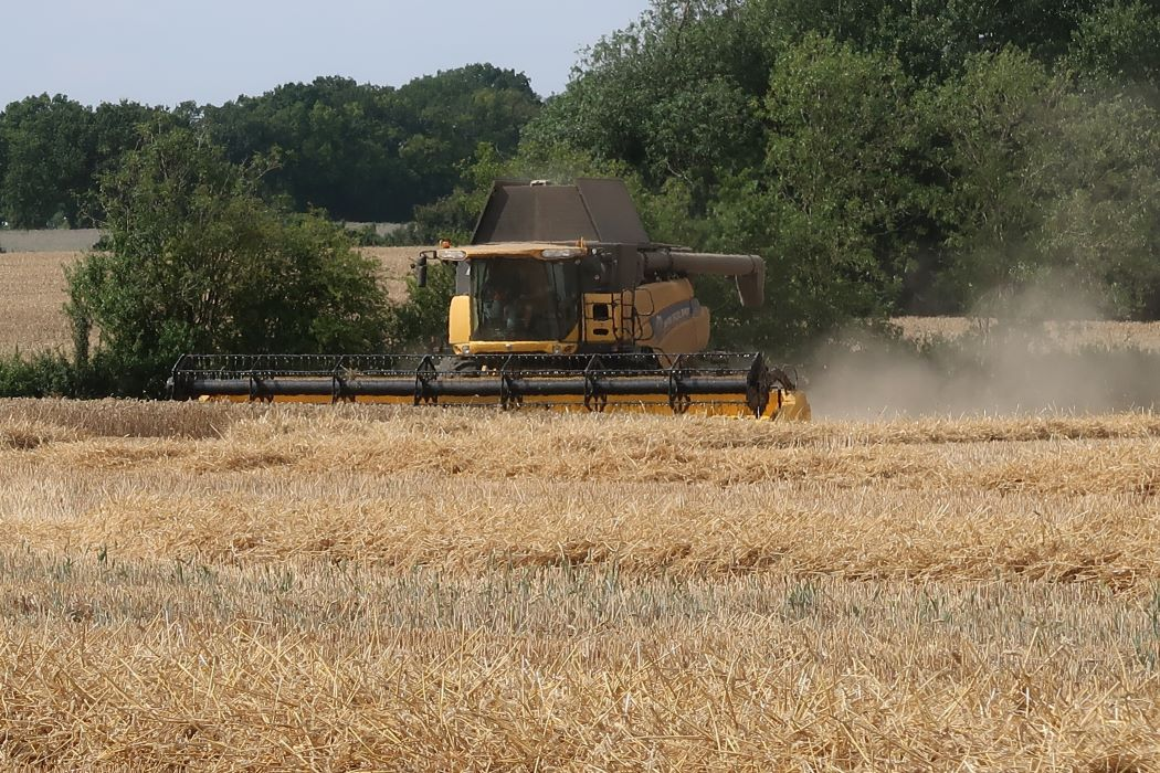 combining wheat in field