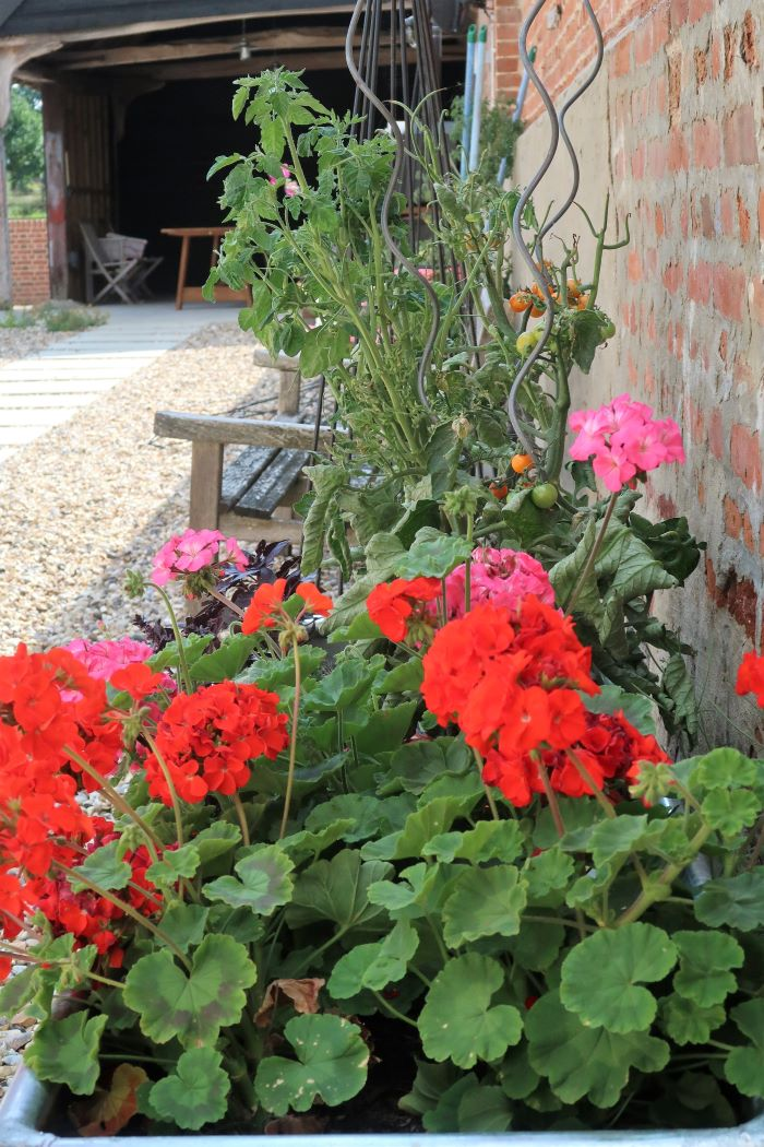 geraniums growing with tomatoes in trough