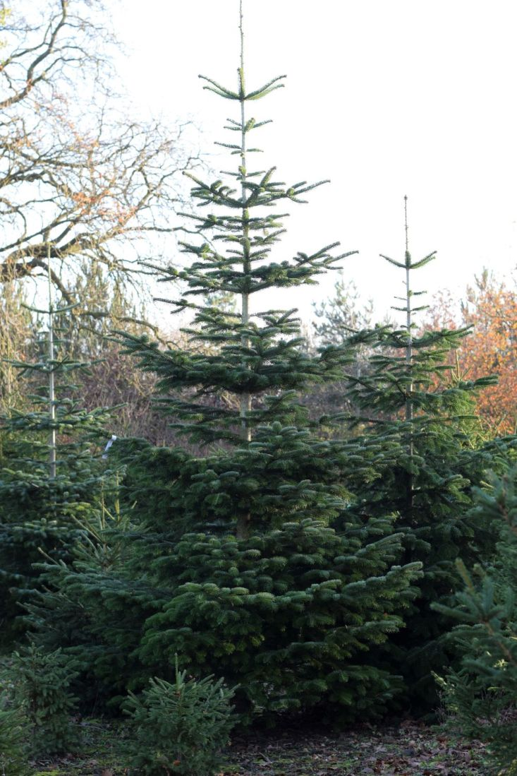 Christmas trees growing in a plantation in a range of sizes