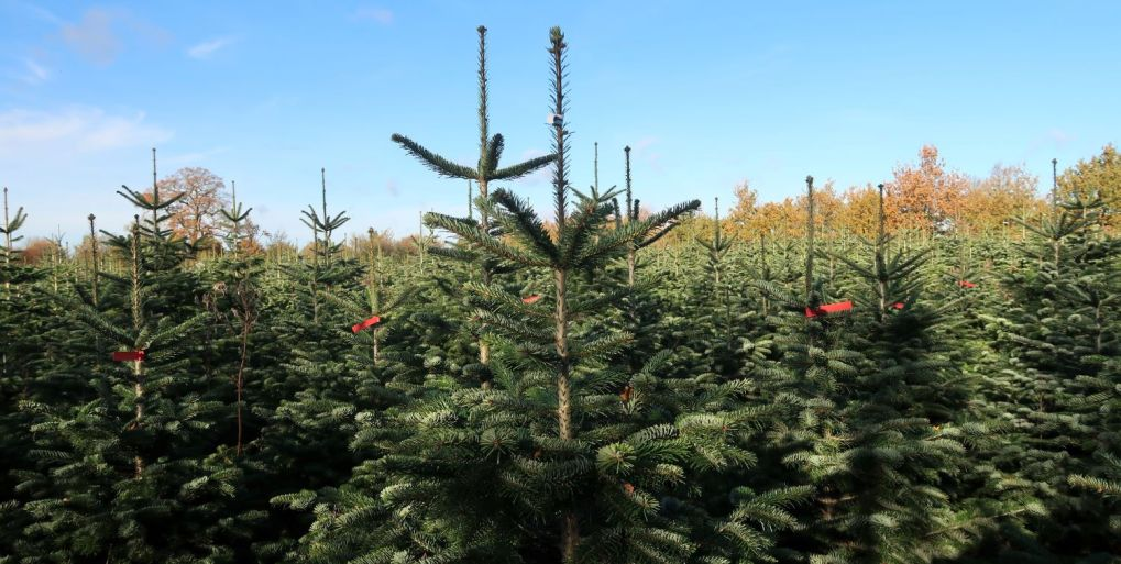 Christmas trees growing in plantation