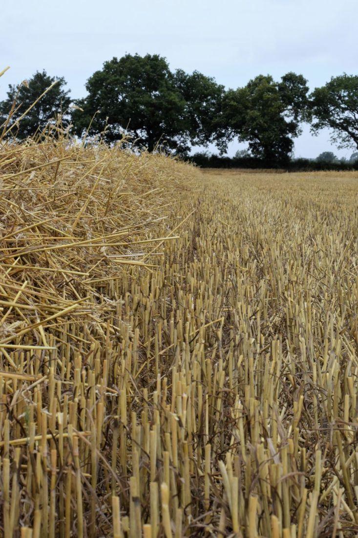 straw lying in swath in wheat stubble field