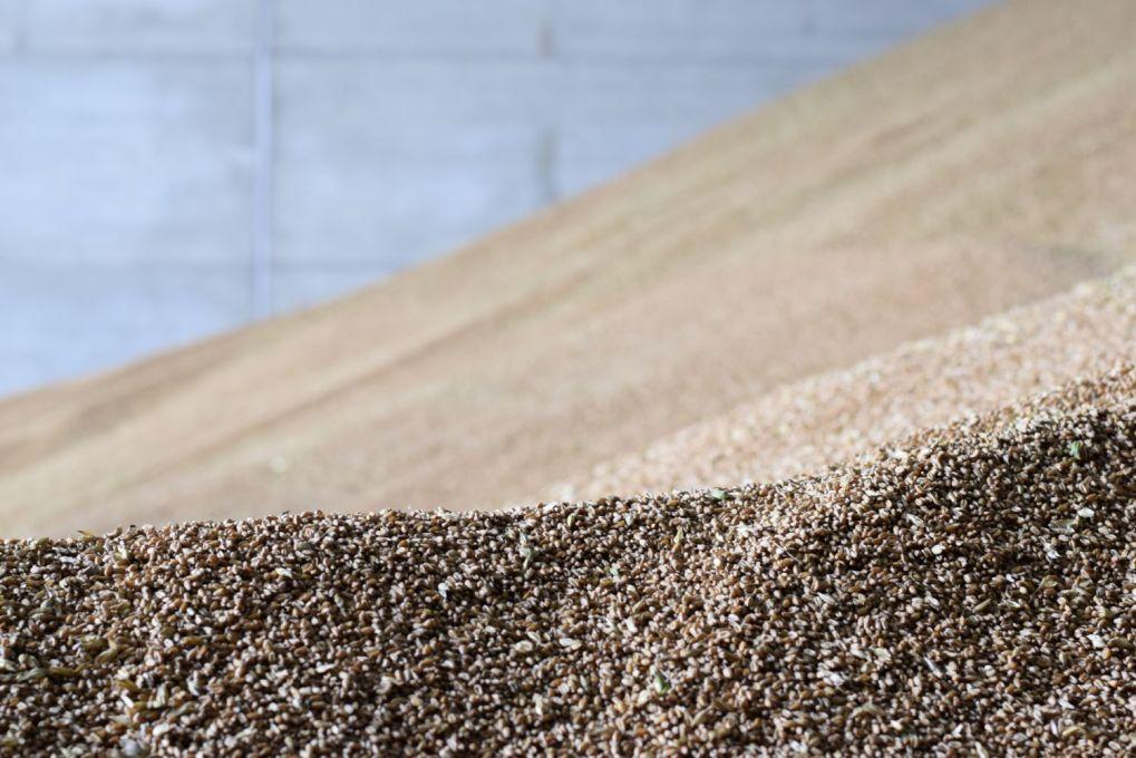 heap of wheat in grain store