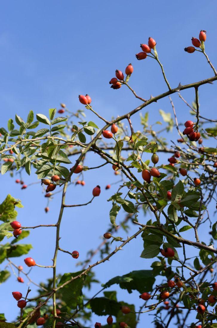 autumn rosehips against blue sky
