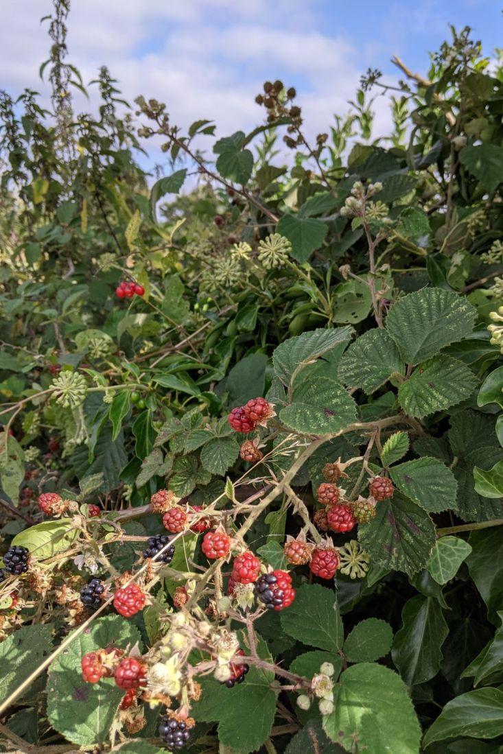 blackberries in September