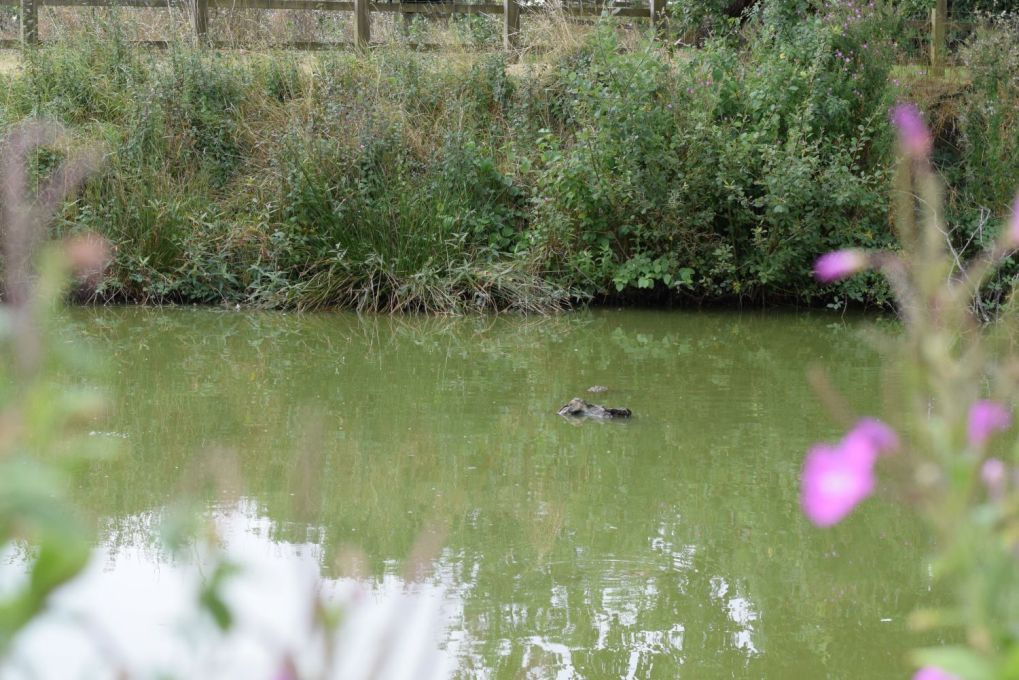 log that looks like a crocodile floating in a pond